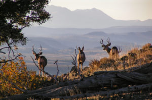 muzzleloading requires close range to elk and deer