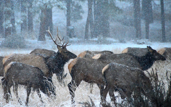 elk during a winter snow storm