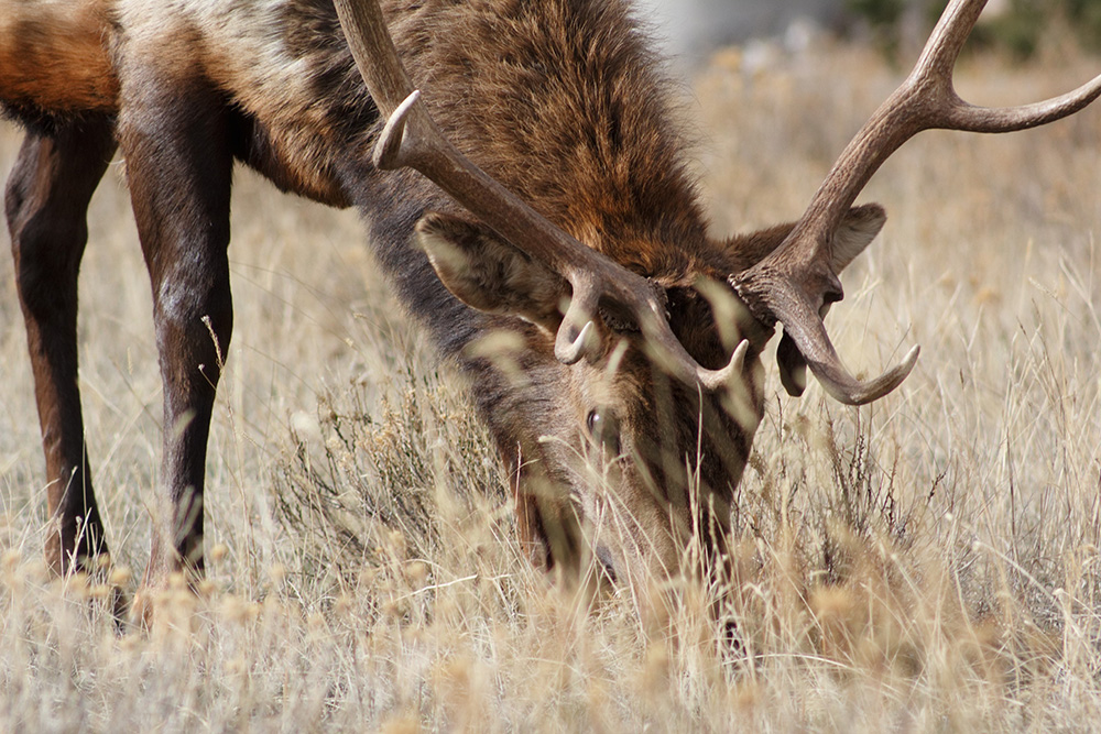 elk hunting tips